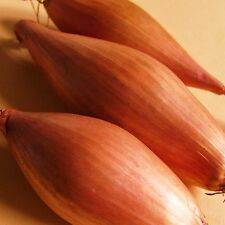 ONION SHALLOT - ZEBRUNE - 800 Seeds [The BANANA Shallot  Chef's First Choice ]