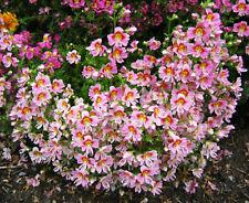30 Salpiglossis Seeds Schizanthus Pinnatus Ornamental Garden Flowers A037