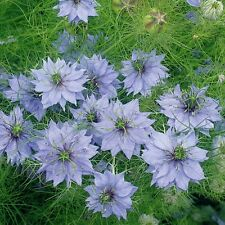 Herb Seeds - Nigella - 1000 Seeds