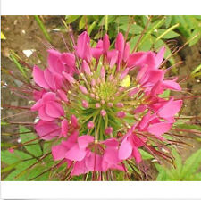 FD1395 Spiny Spider Flower Seed Spiderflower Cleome Spinosa Hot ~1 Pack 50 Seeds
