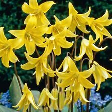 Pack 2 Bulbs Erythronium 'Pagoda' Top Quality WPC.Prins Bulbs