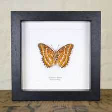Red Lacewing Butterfly in Box Frame (Cethosia biblis)  insect taxidermy