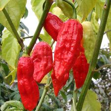 Raja Mirch rote Chilli King Naga höllisch scharfe Chili aus Indien