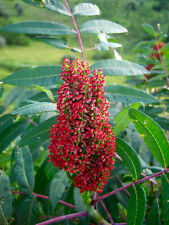 75 SMOOTH SUMAC TREE Red Berries Rhus Glabra Borealis Seeds *Combined Shipping