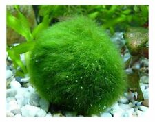 Marimo Moss Balls Large Size 2.30 (5.8cm) 3 pieces Great for Tank or Vase