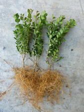 Wintergreen Boxwood evergreen shrub hedge PRICE S FOR 3 PLANTS Buxus microphylla