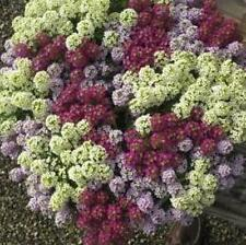 Alyssum - Wonderland Mulberry Mixed - 500 Seeds