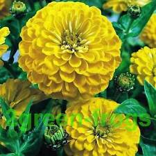 ZINNIA Canary Bird Mix 20 Seeds