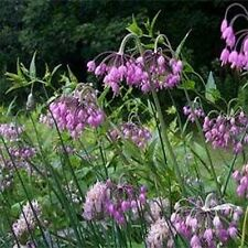 Allium Cernuum-Nodding Pink Onion-  50 Seeds - 50 % off sale