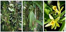 Vanilla planifolia orchid species fragrant flowers cut sizes 12 inche