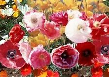 50+CASCADE POCKET POPPY  FLOWER SEED MIX  / PERENNIAL / PAPAVER