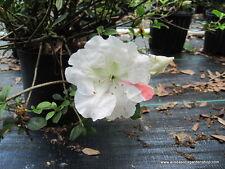 Azalea, 'Getsutoku' (Satsuki hybrid), great for bonsai, pink/white, FOUR plants