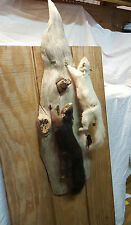 Albino & Black Squirrel Genuine Taxidermy Wall Hanging Driftwood Mount