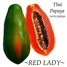 ~RED LADY~ Dwarf Thai PAPAYA short tree RED YUMMY FLESH imported 20 Fresh Seeds