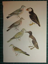 VINTAGE NATURAL HISTORY PRINT WOOD PIGEON STOCK DOVE PUFFIN COLLARED DOVE TURTLE
