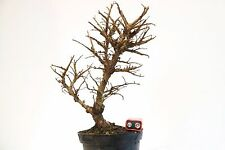Cork Bark Chinese Elm Bonsai Tree Raw Material Ulmus Parviflora Corticosa 25