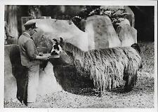 PHOTO de PRESSE SAFRA ORIGINALE 1937 + ZOO de VINCENNES + Un LAMA se nourrit
