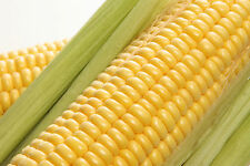 3g. (approx. 25) corn seeds ZLOTA Best for a popcorn making Superior taste