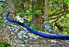 Blue Recurve Bow with Black Dragon Scales (55lbs)
