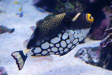 Clown Trigger Medium - Balistoides conspicillum - Saltwater Fish - Corals