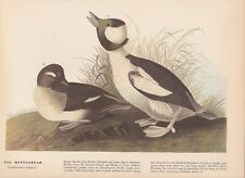 "1942 Vintage AUDUBON BIRDS #325 ""BUFFLEHEAD"" Color Art Plate Lithograph"