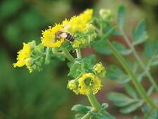 A 0.5g (approx. 150) common rue seeds RUTA GRAVEOLENS heirloom, nice & fragrant