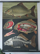 VINTAGE JUNG KOCH QUENTELL PULL DOWN SCHOOL CHALK CHART OF A CARP -FISH  ANGLING