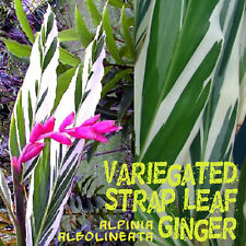 ~VARIEGATED GINGER PLANT~ Alpinia albolineata vittata Small potted PLANT