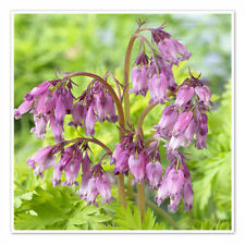 Dicentra formosa (PLANT) 'Spring Gold' Fern-leaf Bleedinghear - Bleeding Hearts,