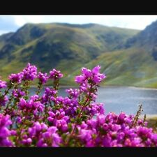 Scottish Heather - 2000 seeds 1g - Calluna Vulgaris - Purple Flowered Perennial