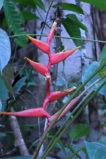 Heliconia Spathocircinata - Pink / Red / Yellow - Rare Tropical Plant Seeds (5)
