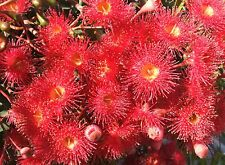 RED FLOWERING GUM SEEDS CORYMBIA FICIFOLIA 100 SEEDS EUCALYPT GUM TREE NATIVE