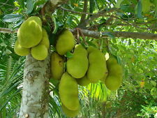 FOUR LIVE FRUIT TREES Sapodilla,Jackfruit,Banana,Mulberry Trees
