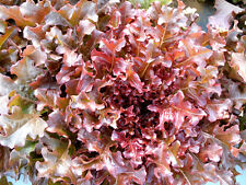 1000 RED SALAD BOWL LETTUCE SEEDS 2017 ( $3.00 MAX SHIPPING! )