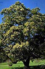 Der Schlafbaum rollt abends die Blätter zusammen !