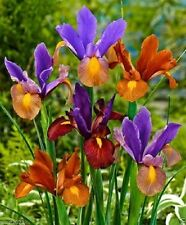 "20 Dutch Iris Bulbs ""Eye of the Tiger ' eye-catching shapes& beautiful colour"