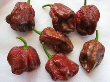Douglah (7 Pot Chocolate)Chili Pepper x 10 Seeds Super Hot