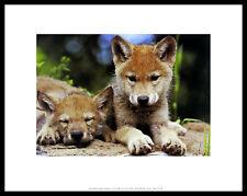 Art Wolfe Spring Wolf Pups Poster Bild Kunstdruck im Alu Rahmen schwarz 28x36cm