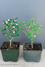 "Chinese flowering  white serissa  bonsai tree 4"" set / green & variegated leaf"