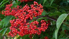 Red Elder - Sambucus Racemosa - 50 seeds - Berries - Shrub - Hedging