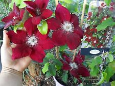 Rare ,most beautiful & unusual Clematis * Clematis Rebecca * 5 fresh seeds *