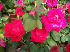 Double Knock Out Red Rose 1 Gal Live Plants Flower Plant Disease Resistant Roses