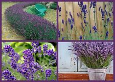 """LOVELY LAVENDER"" FLOWER SEEDS - 4 PACK SPECIAL - BEAUTIFUL & FRAGRANT PERENNIAL"