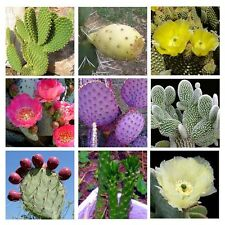 10 Cactus Opuntia mixed seeds * Amazing Flower * Edible Fruit *  CombSH C31