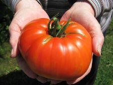 500 BEEFSTEAK TOMATO SEEDS, Comb S/H, + Free Gift!