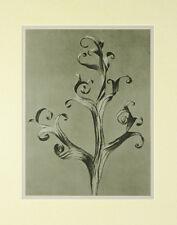 Karl Blossfeldt – (Urformen der Kunst) montado 1929 Fotograbado-placa no 43