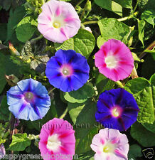 MORNING Glory MIX-IPOMOEA Tricolor 160 semi-annuale Rampicante Fiore