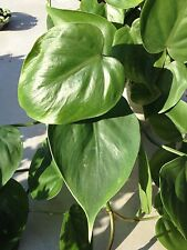 Kletterphilodendron Philodendron scandens Hängepflanze Pflanze Ableger 2x