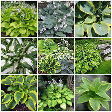 50Pcs Hosta hybrida Mix Flower Seeds Leaf Garden Plant Fresh Decor Hybrid New