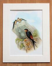 Avaler des oiseaux Asie - Vintage monté années 1960 livre John Gould platine